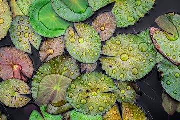 Keuken foto achterwand Lotusbloem water drops on the lotus leaf