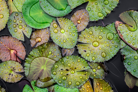 water drops on the lotus leaf