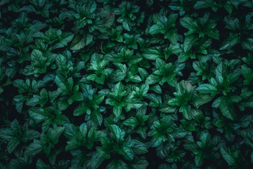 Dark green leaves in the park as a background