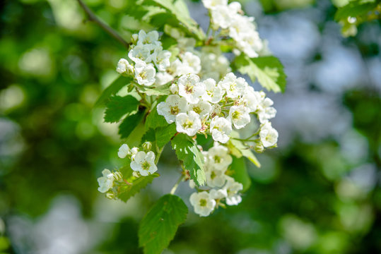 Blooming hawthorn in the spring garden