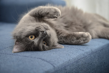 Obraz Gray cat Nebelung cat is lying on the sofa at home. - fototapety do salonu