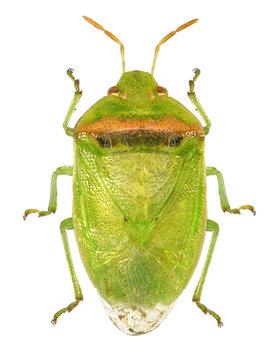 Red-banded stink bug, smaller green stink bug, Piezodorus guildinii (Hemiptera: Pentatomidae) isolated on a white background