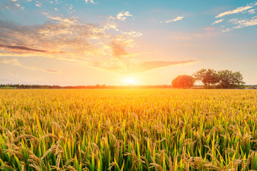 Ripe rice field and sky background at sunset time with sun rays Wall mural