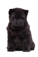 Wall Mural - black chow-chow puppy