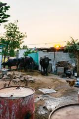 Cows in stable in rural farm in Hampi, Karnataka, India
