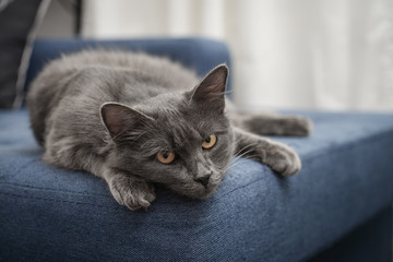 Gray cat Nebelung cat is lying on the sofa at home.