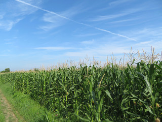 Corn field in summer on background of blue sky and white clouds. Young corn stalks with cobs, green plants, agricultural industry