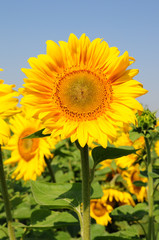 Front view of flower head of Helianthus annuus plant. Vibrant orange color middle of sunflower on high green stem and yellow petals on clear blue sky background. Summer bloom closeup.