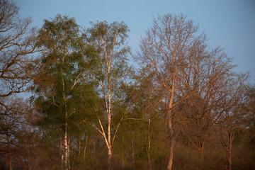 Forest in springtime in evening sunlight under blue sky.