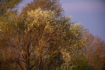Detail of tree with white blossom in evening sunlight.