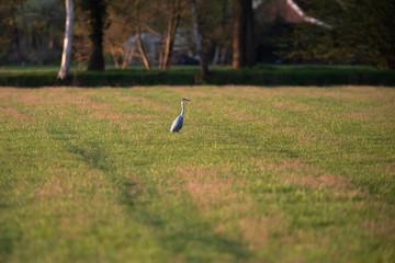 Grey heron in meadow in spring in evening sunlight.