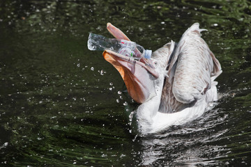 A plastic bottle in the mouth of a pelican bird ( problem of water pollution with plastic). Unhappy bird can swallow debris and die. Wall mural