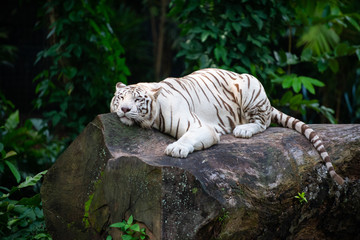 White tiger lounging on a rock with its eyes closed