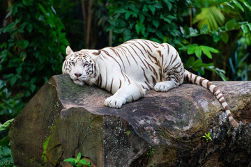 White tiger lounging on a rock with its eyes staring at camera