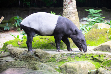 Side view of a Tapir with its mouth opened ready to take in food