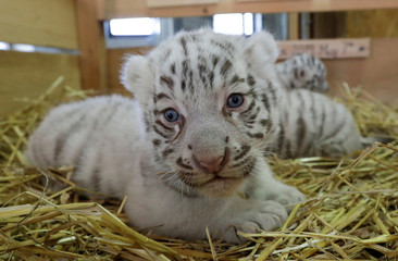 A litter of white Bengal tiger cubs is pictured at the White Zoo in Kernhof
