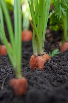 Carrots in soil. Agriculture. Farming. Closeup. Netherlands.