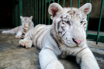 White Bengal tiger cubs are seen at the zoo in Managua