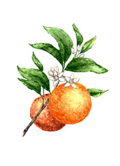 Orange branch watercolor painting on white background.