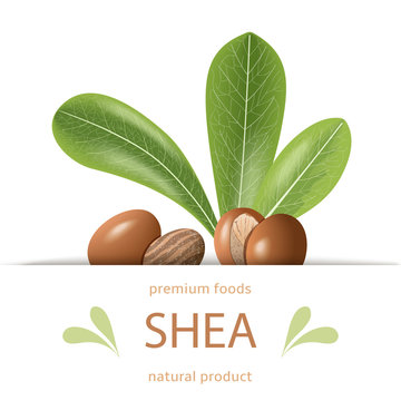 Ripe shea nuts and leaves label. shi tree pods whole and cracked. Vitellaria paradoxa. Premium foods.