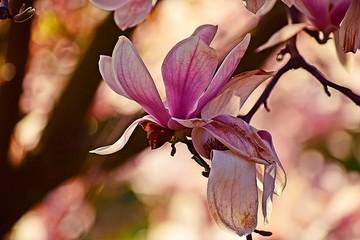 Obraz Kwiat magnolii  - fototapety do salonu