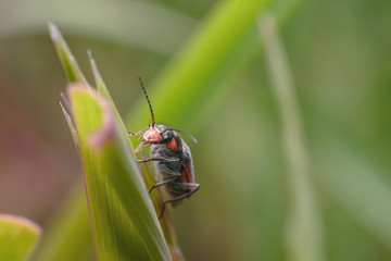 A small black and red beetle on a stalk of grass. Macro photography of insects, selective focus, copy space.
