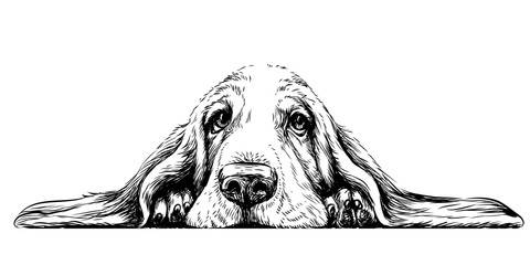 Dog breed Basset Hound. Sticker on the wall in the form of a graphic hand-drawn sketch of a dog portrait. Wall mural