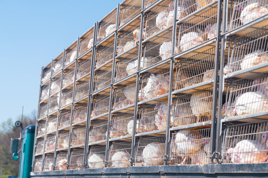 Truck with many sick sad turkeys transported to slaughterhouse for Thanksgiving in crammed metal cages showing animal cruelty disease