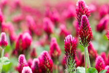 Aluminium Prints Candy pink Field of flowering crimson clovers (Trifolium incarnatum) Rural landscape.