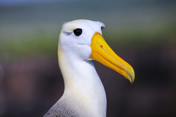 Portrait of Waved albatross on Espanola Island, Galapagos National park, Ecuador