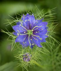 """Nigella flower, also know as """"Love-in-a-mist"""""""