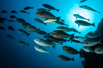 Wall Mural - A school of surgeonfish swims in the deep blue waters above a coral reef in Indonesia.