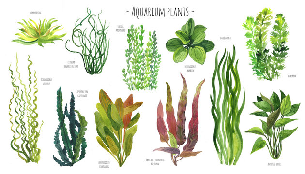 Aquarium plants watercolor illustration set. Red, blue, green and yellow water plants. Freshwater plants.