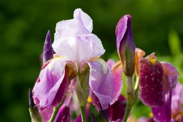 Wall Mural - Burgundy blooming iris flower