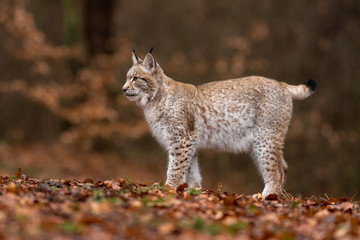 Photo sur Aluminium Lynx The Eurasian lynx (Lynx lynx) a young lynx resting in a forest. Autumn scene with a big european cat. Portrait of a cat predator. Portrait of a young lynx.