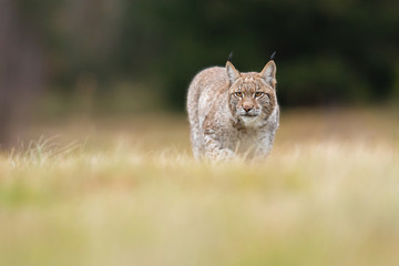 In de dag Lynx The Eurasian lynx (Lynx lynx) a young lynx on a meadow. Autumn scene with a big european cat. Portrait of a hunting predator. Portrait of a young lynx.