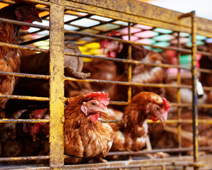 Several chickens in a metal cage in a market place, two animals have their heads stuck through the grid, an animal in the focus area - Location: Indonesia, Sulawesi