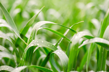 Closeup dew on grass for green background. Macro photo of water drops on green grass. Drops of dew on the beautiful green grass background Wall mural