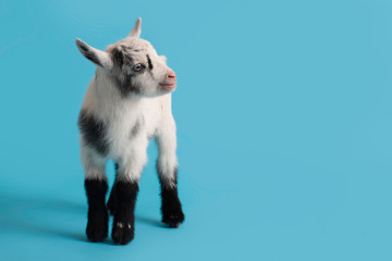 Baby Goat on a Blue Background