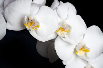 White beautiful orchid on around black background