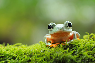 Poster Kikker tree frog, java tree frog, flying frog sitting on moss ( rhacophorus reinwardtii )