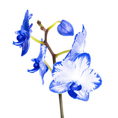 Beautiful orchid flower on white background. Tropical plant