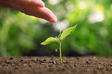 Woman pouring water on young seedling in soil against blurred background, closeup
