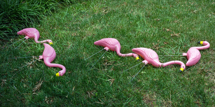 Tacky pink flamingos resting on lawn after hours of standing on lawn.