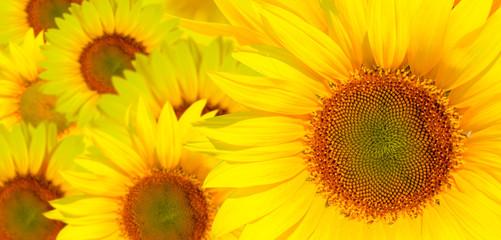 Amazing sunset over sunflowers field