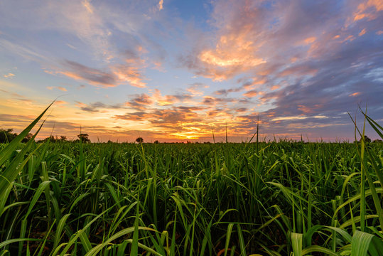 Fresh sugarcane field with nice sky in sunset time