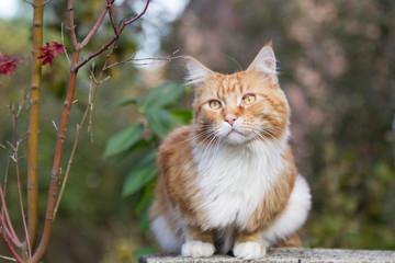 roter Maine-Coon-Katzer im Garten Fototapete