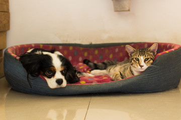 friendship between different domestic animals concept photography of laying in bed and looking side ways cat and King Charles Spaniel dog, good advertising picture for some shelter