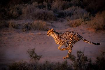 cheetah running down the road at dusk Wall mural