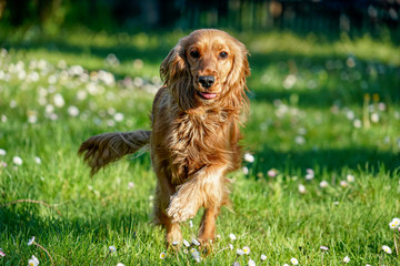 young dog running on the grass